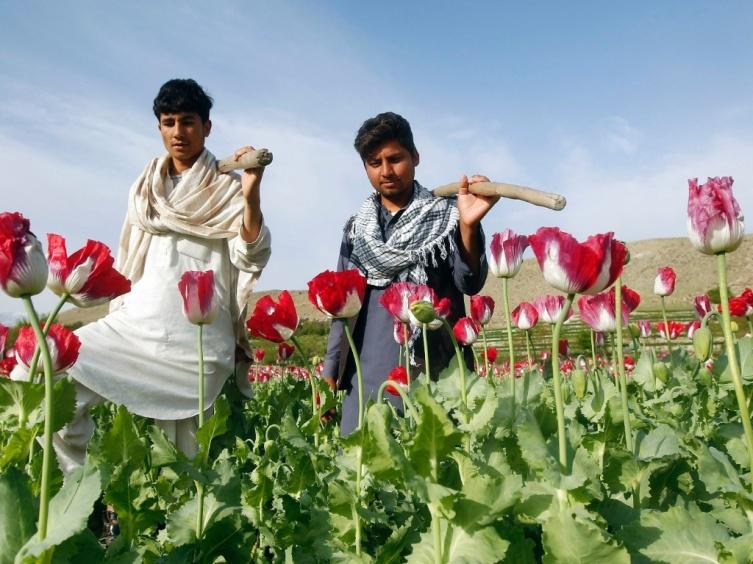 Homens colhem flores de papoula em Jalalabad, no leste do Afeganistão.